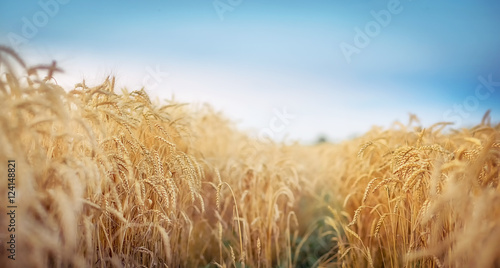 Foto  Field of wheat