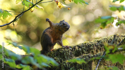 Poster Zwavel geel Hoh Rain Forest, Olympic National Park, WASHINGTON USA - October 2014: Red Squirrel sitting on a moss covered tree