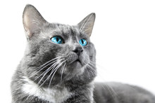 Gray Cat With Beautiful Blue Eyes A White Background Isolated