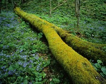 Moss Covered Log Lying In Midst Of Blue Phlox Flowers, Great Smoky Mountains National Park