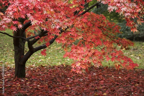 A Red Acer Tree