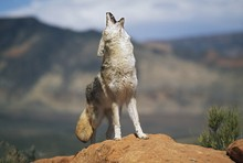 Coyote (Canis Latrans) Howling...