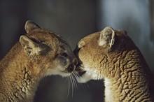 Mountain Lion (Felis Concolor) Cub Nuzzles Mother's Face; Montana, Usa