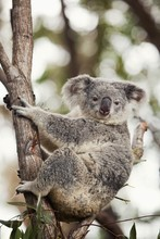 Koala Bear In Tree, Gold Coast, Queensland, Australia