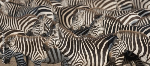 Herd of zebras, Kenya - 124169870