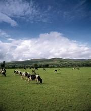 Fresian Cattle, Mitchelstown; Mitchelstown, County Cork, Ireland