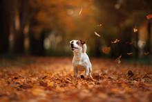 Autumn Mood. Jack Russell Terr...