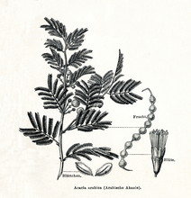 Gum Arabic Tree (Vachellia Nil...