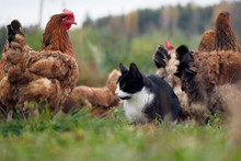 Country Cat Sitting Among Chickens Walking