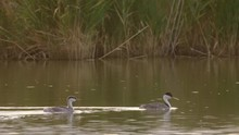 Tracking Shot Of American Coot...