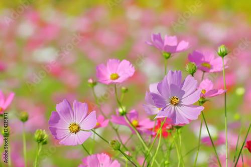 Stickers pour porte Pierre, Sable ピンク色と赤色のコスモスの花