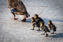 Baby Ducks At The National Wor...