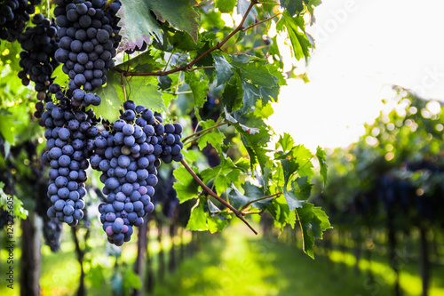 Photo Bunches of ripe grapes before harvest.
