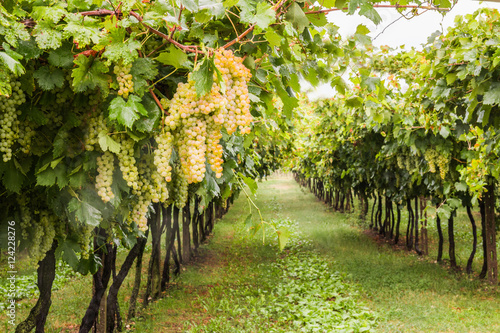Spoed Foto op Canvas Wijngaard Bunches of ripe grapes before harvest.