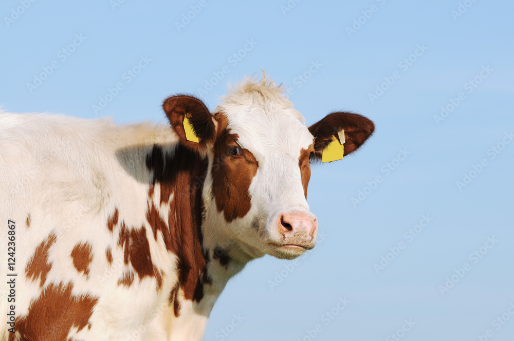 cattle standing and looking in front of blue sky