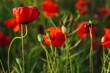 Closeup of poppy buds growing between flowers