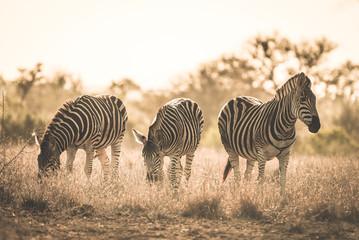 Fototapeta na wymiar Herd of Zebras grazing in the bush. Wildlife Safari in the Kruger National Park, major travel destination in South Africa. Toned image, vintage old retro style.
