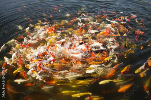 Foto op Aluminium Scandinavië Colorful koi fish