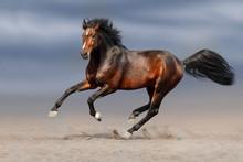 Bay Stallion Run Gallop In Sand
