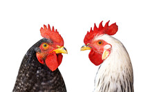 Two Cocks, Roosters Against Each Other Isolated On White