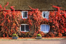 House Covered In Red Ivy In Au...