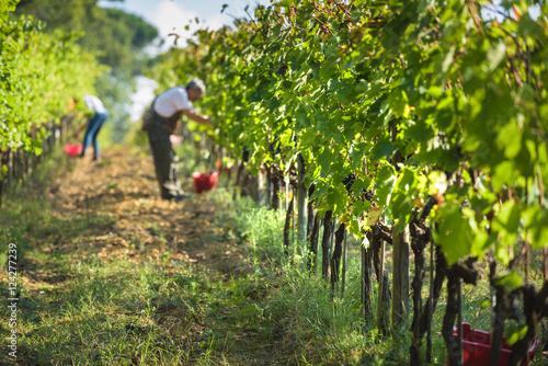 Fotografia Italian grape harvest for wine in Tuscany.