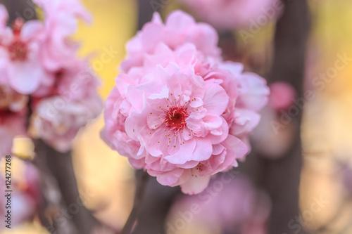 Fotografija  cherry blossom