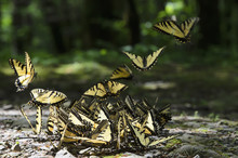 Abundance Of Eastern Tiger Swallowtail (papilio Glaucus) Butterflies On Rocky Ground In Great Smoky Mountains National Park;Tennessee United States Of America