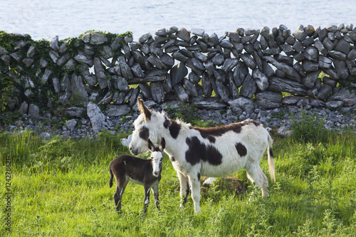 Foto op Aluminium Wand A horse and calf standing beside a stone wall at the water's edge;County clare, ireland