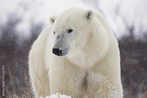 Spoed Foto op Canvas Ijsbeer Polar bear (ursus maritimus) walking along hudson's bay;Churchill manitoba canada