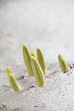 Close Up Of Plant Buds Growing Through Snow In Kananaskis Provincial Park;Alberta Canada