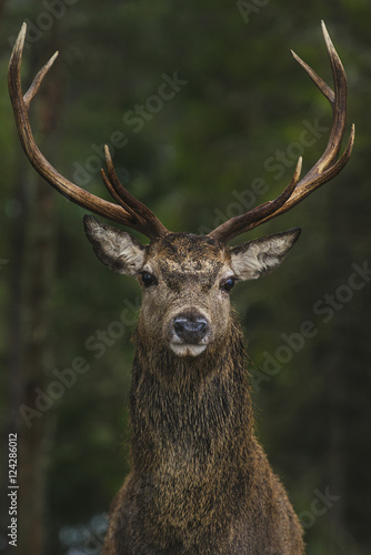 Stag portrait, Laggan, Scotland, UK
