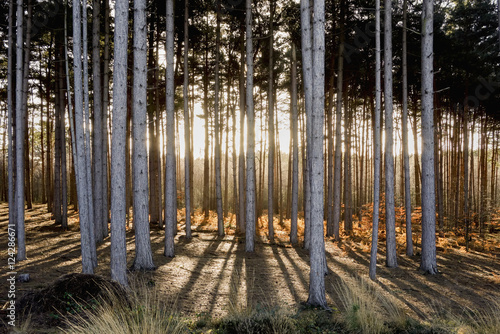 Trees in a forest with sunlight shining through; Surrey, England
