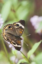 A Buckeye Butterfly (Junonia C...