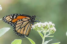 A Monarch Butterfly (Danaus Plexippus) Resting On Small White Flowers; Vian, Oklahoma, United States Of America