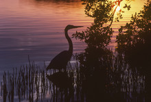 Silhouette Of Great Blue Heron At Sunset, Homestead, Florida, USA