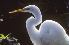 A Great Egret (Ardea Alba) Stalks Prey; Homestead, Florida, United States Of America