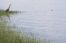 Great Blue Heron (Ardea Herodias) Fishing Along The Shore Of The Fraser River; Britih Columbia, Canada