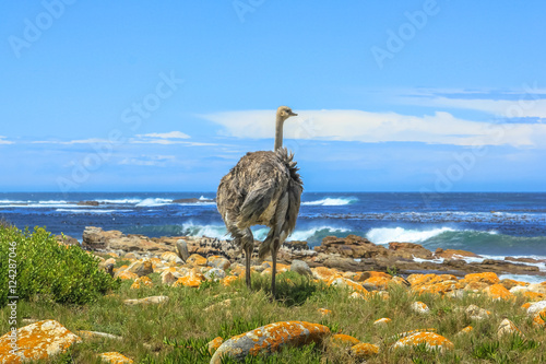 Valokuva  A Wild Ostrich along the Atlantic ocean shore with stormy in the spectacular scenery of the Cape of Good Hope, a section of Table Mountain National Park, Cape Peninsula, South Africa