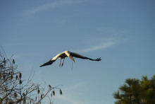 Wood Stork (Mycteria Americana) Carrying Branch For Nesting; Florida, United States Of America