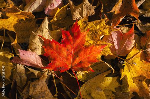 Red maple leaf on leaf background; Knowlton, Quebec, Canada