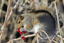 Eastern Grey Squirrel (Sciurus Carolinensis) Perched On A Branch And Feeding On Berries; Quebec, Canada