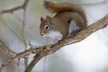 Eastern Grey Squirrel (Sciurus Carolinensis) Perched On A Branch; Quebec, Canada