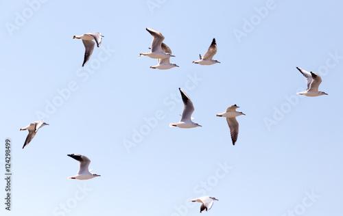 Fotografia a flock of seagulls in flight