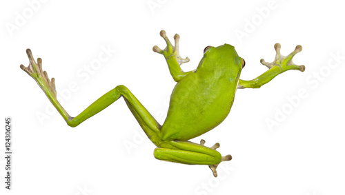 Green Australian tree frogs are docile and well suited to living near human dwellings. They are often found on windows or inside houses, eating insects drawn by the light.