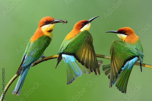 Fotografie, Obraz  Chestnut-headed bee-eater (Merops leschenaulti) a brightly green