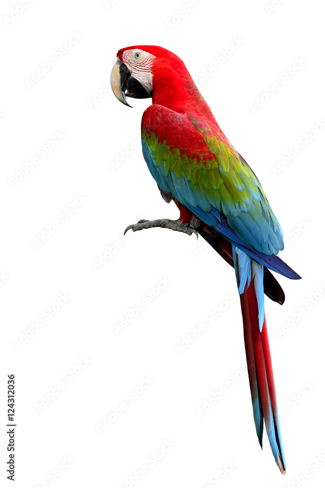 Green-winged Macaw parrot, beuatiful multi colors birds with red