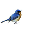 Hill blue flycatcher (Cyornis banyumas) the beautiful tiny blue