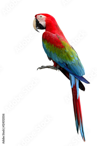 Photo sur Toile Perroquets Green-winged Macaw parrot, beuatiful multi colors birds with red