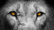 canvas print picture - Golden Eyes Lion Face